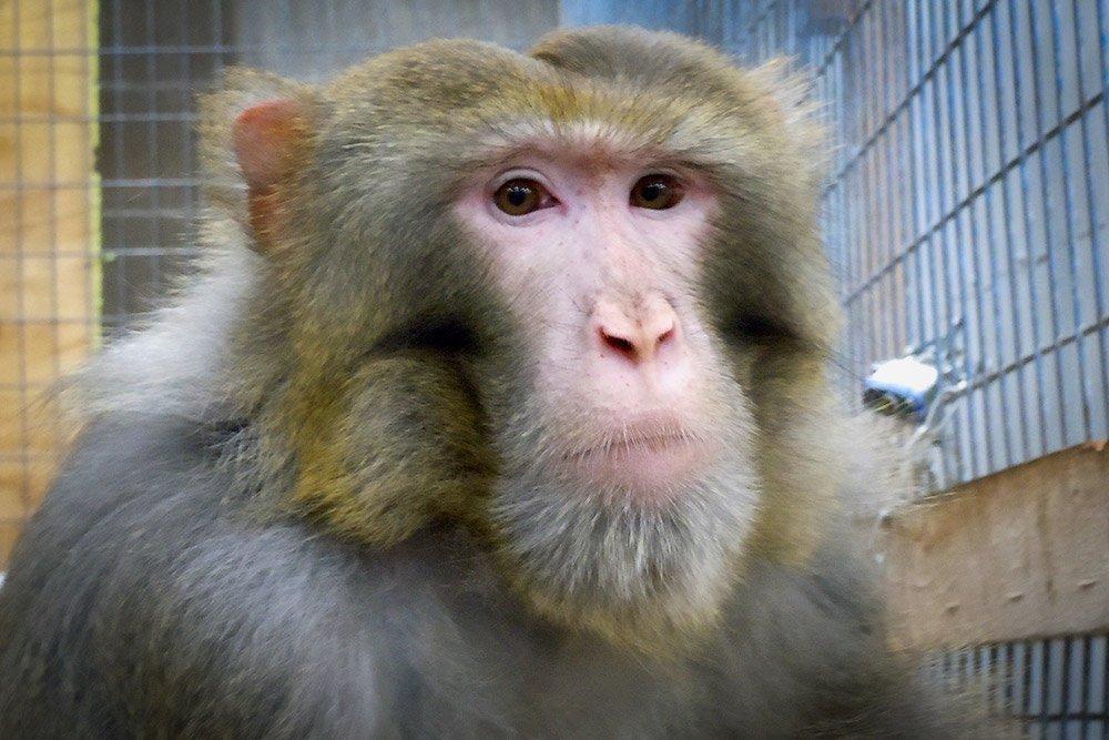 Izzle / Rhesus Macaque