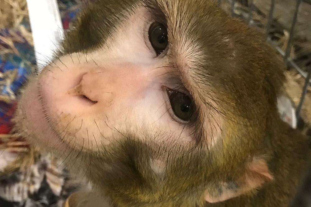 River / Rhesus Macaque