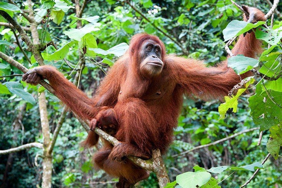 Orangutan / Great Ape