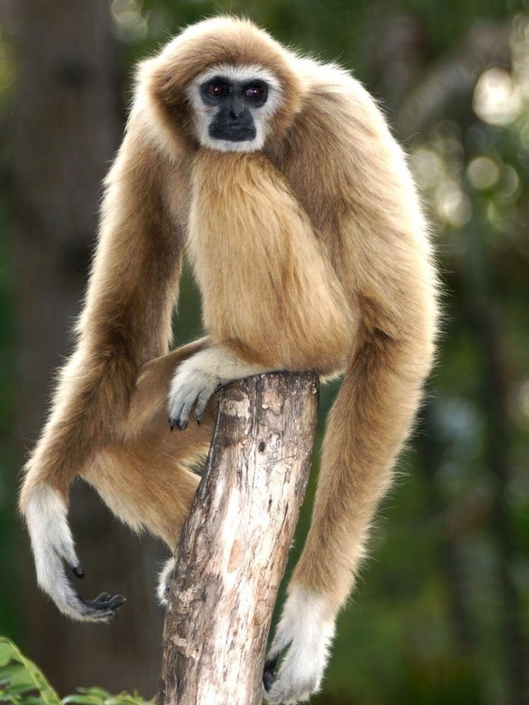 Gibbon / Small-bodied Ape (Lesser Ape)