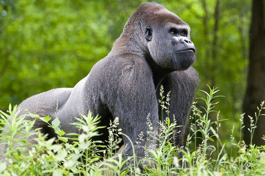 Gorilla / Great Ape