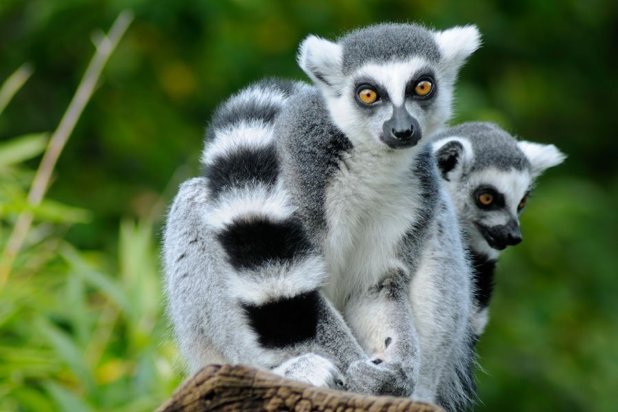 Lemurs / Prosimians