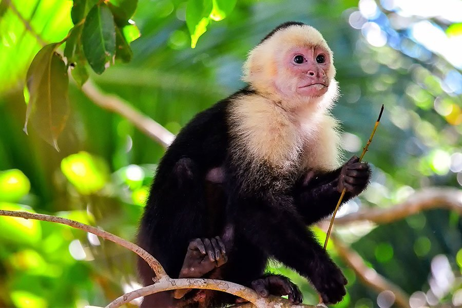 Capuchin / New World Monkey