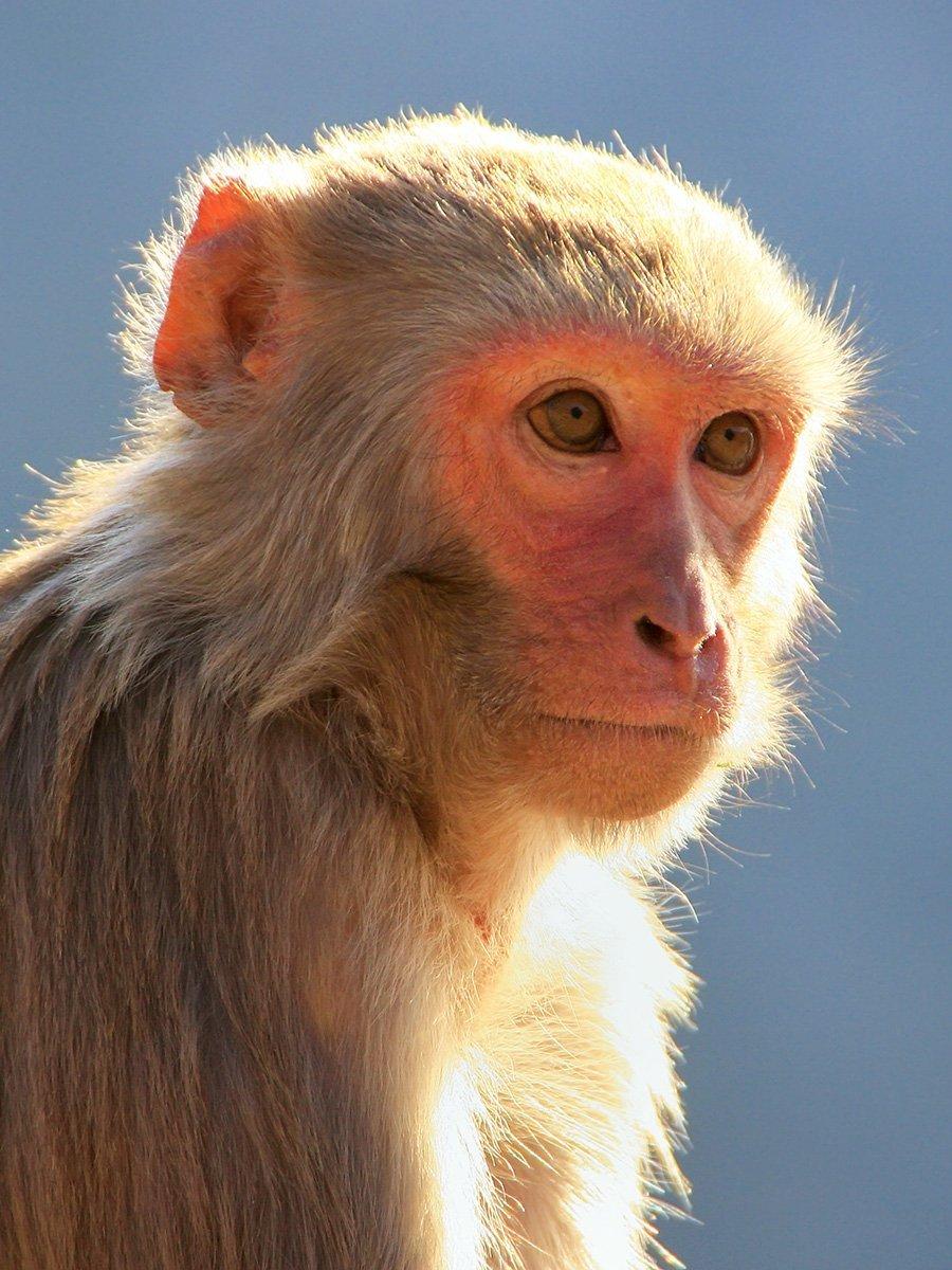 Rhesus Macaque / Old World Monkey