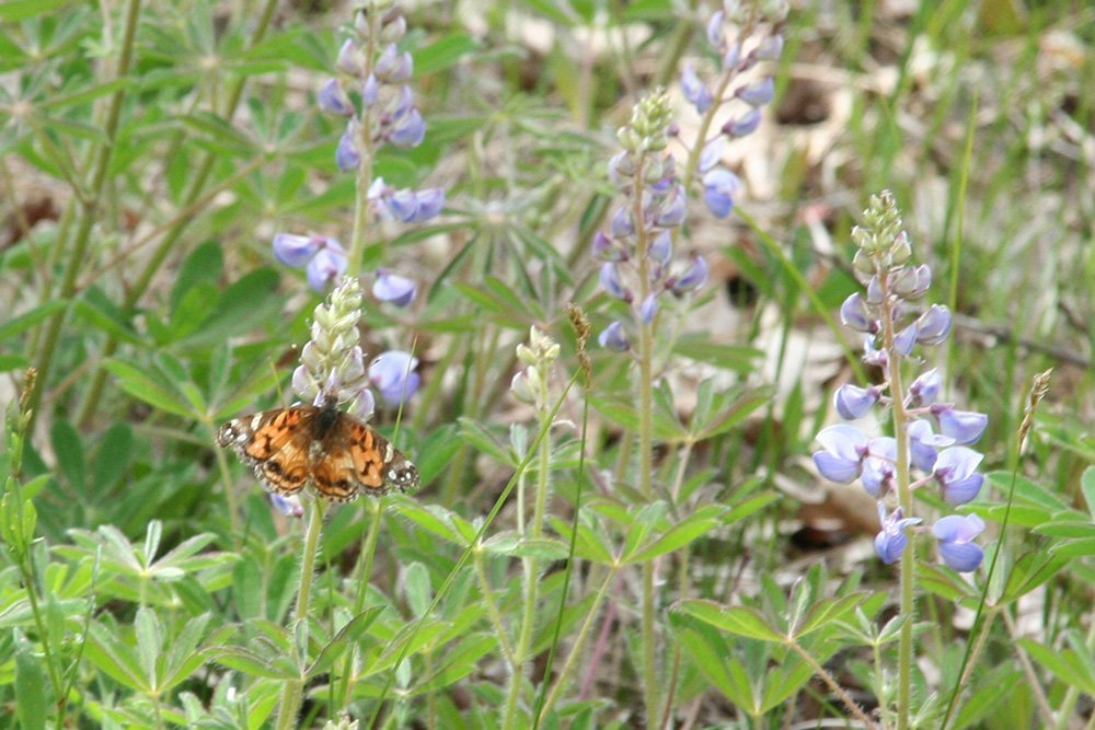 Random butterfly on Lupine plant