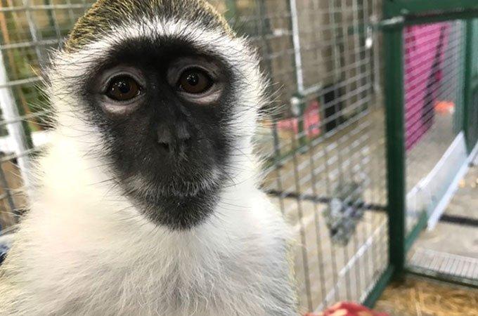 Bella / Vervet monkey